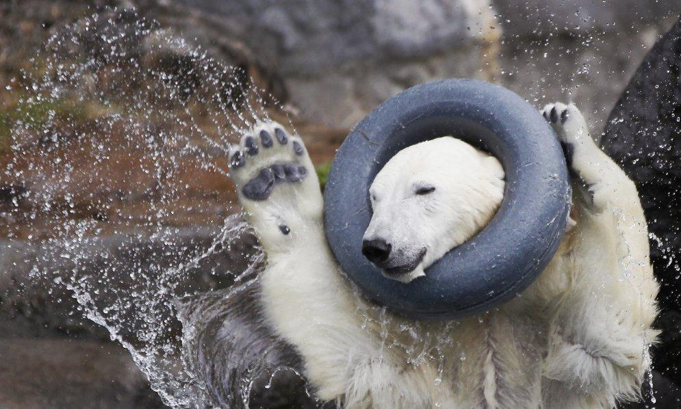 Polārlāči - tomēr ļoti draņķīgi maskēšanās meistari