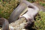 Episka cīņa: Pitons piecās stundās apēd aligatoru