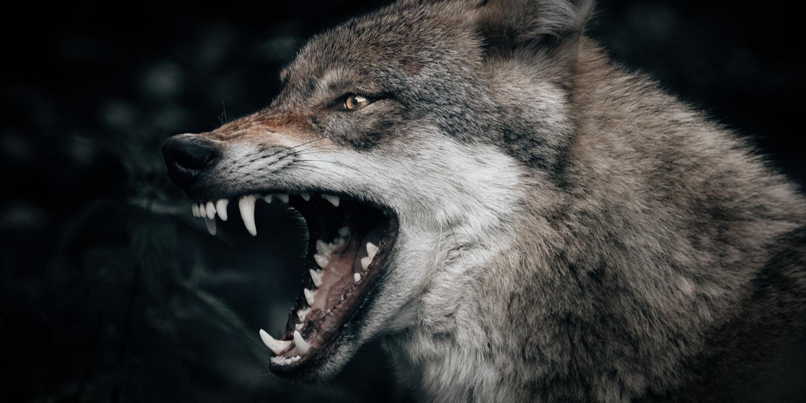 Кошмар под Мадоной: как в Латвии ловили волка-убийцу