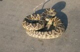 Американец попал в больницу после селфи с гремучей змеей