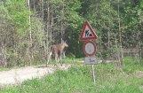 Aculiecinieka foto: Rugāju novadā pa ceļu braši defilē alnis