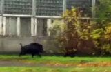 Pa Rīgas ielām skraidījusi mežacūka