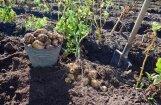 Asociācija: lietus trūkums varētu radīt problēmas ar kartupeļu ražas novākšanu