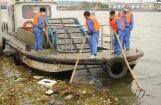 Ķīnā no upes izvilkti gandrīz 6000 beigtu cūku