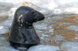 Tuvojas krastā izskaloto roņu laiks; iedzīvotājus aicina būt vērīgiem