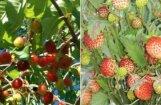 ФОТО: Спелая вишня и земляника в начале июня. Не рановато ли?