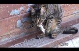 'Mīļš kaķītis noķēra pelīti?' Dzīvē viss ir krietni skarbāk! (video)
