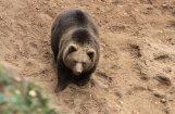 Līgatnes lāčus svētdien nepārvietos; neizslēdz pārvešanu uz Baltkrieviju