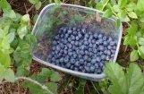 Video: Saldus mežos atrod pirmās mellenes