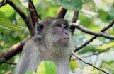 В Индии обезьяна мстит машинистам за погибшего детеныша