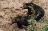 Līgatnes lāči Mikus un Puika kastrēti un pārvesti uz 'Mežavairogiem'