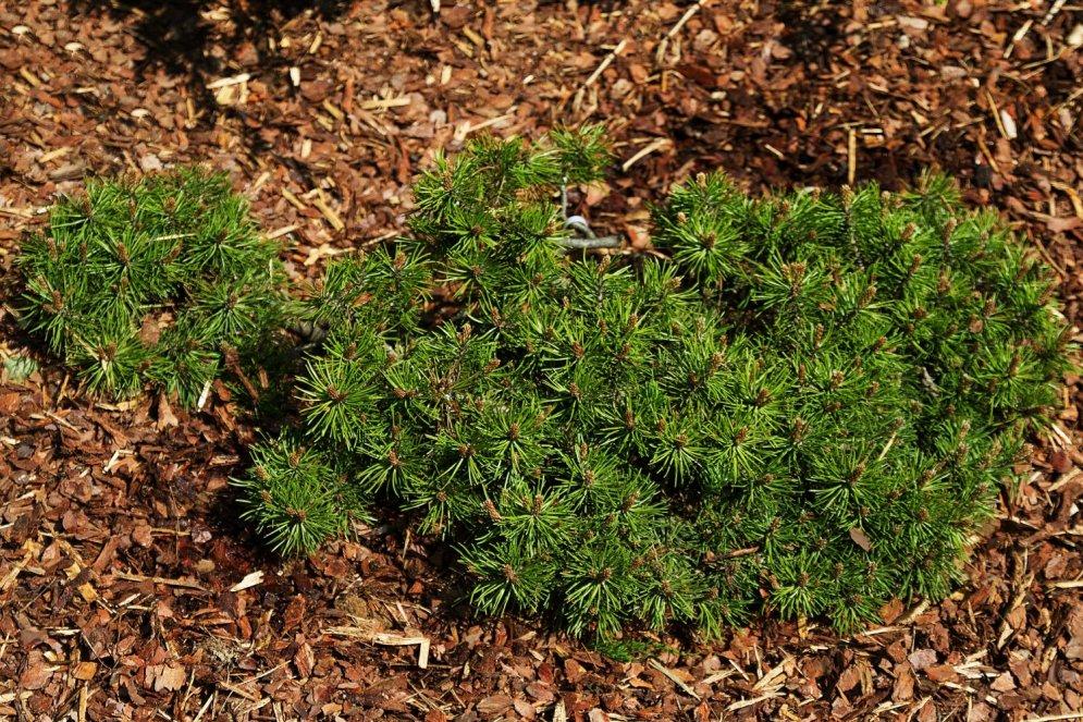 Pieci košumstādi jūsu dārzam