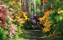 Foto pastaiga pa pasakaino rododendru dārzu Babītē