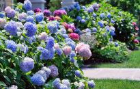 Dārza darbu kalendārs: augusts