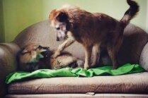Neparastie mājdzīvnieki: kā sadzīvo suns un kūmiņš