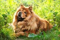 Gluži kā lācis – mīlīgi suņuki, kas ir līdzīgi pūkainajam ķepainim