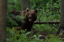 Kokneses novadā manīts liels lācis