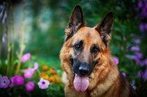 Desmit labākie ganu suņi pasaulē
