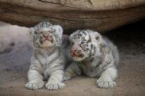 Mīļi foto: Apdraudēto balto Bengālijas tīģeru pārim dzimuši divi ņipri mazuļi