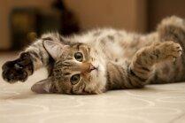 Skaļākais murrātājs un garākās ūsas – pārsteidzošo kaķu apbrīnojamie rekordi