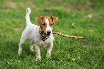Speciālisti skaidro, vai suņa veselībai kaitē spēlēšanās ar kociņu