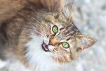 Kāpēc kaķi mēdz ņaudēt bez skaņas