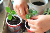 Kraukšķīgo gurķu audzēšana uz palodzes – sēšana un stādu lološana
