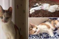 Mājas meklē trīskrāsainā kaķenīte Hara, kurai patīk 'runāties'