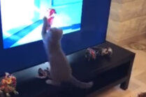 Video: Medīgs kaķis aizrautīgi skatās multfilmu