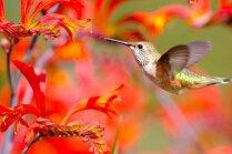 Foto: Pacietīga sieviete savā dārzā iemūžina krāsainos kolibri