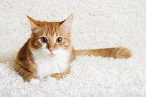 Kāpēc kā mājdzīvnieku izvēlēties kaķi, nevis suni vai grauzēju