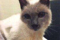 Noskaidrots jauns pasaulē vecākais kaķis – siāmietis Skūters