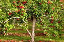 Izplatītākās ābeļu slimības un kaitēkļi, kas kokus iecienījuši