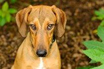 ZM: čipēšana atvieglos suņa meklēšanu un atrašanu