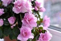 Graciozā acālija: kā rūpēties par augu pirms un pēc ziedēšanas