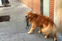 Foto: Apķērīgais suņuks Sportijs, kurš prot pats sevi izvest pastaigā