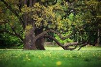 Veci, bet vēsturiski koki pagalmā – saglābt vai izcirst