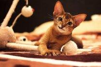 Astoņas kaķu šķirnes, kam tuva mežonīgā savvaļa
