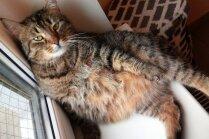 Mājas meklē kaķenīte Mause, kurai patīk gulēt amizantās pozās