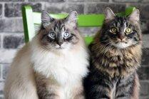 Penelope un Odisejs – valdzinoši kaķīši, kuri apgāž seno grieķu mītu