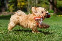 Suņu obligāto čipēšanu varēs veikt arī PVD pārstāvji