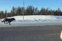 Neparasti kadri: Savvaļas vilki Kanādā skrien līdzās auto