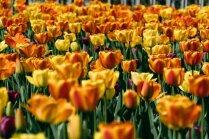 Foto: Jūrmalas pilsētvidi rotā tūkstošiem tulpju