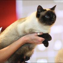 Домашняя кошка на выставке