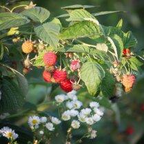Как удобрять весной малинник