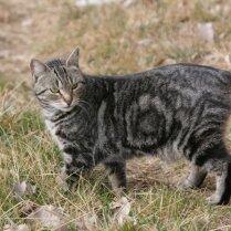 Menas salas kaķis jeb Mankss