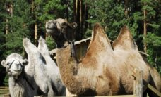 Cēsu rajonā zoodārzā dzims kamielis