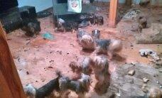 Privātmājā Mārupē nekontrolēti savairojušies Jorkšīras terjeri. Patversmē nogādāts 41 suņuks, vairums – kritiskā stāvoklī