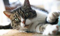 Kādi parazīti var apdraudēt kaķi?