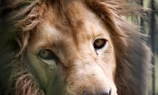Santjago zoodārzā nošauj divas lauvas, jo to būrī ielec cilvēki